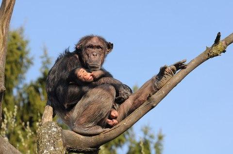 1280px-Schimpanse,_Pan_troglodytes_3